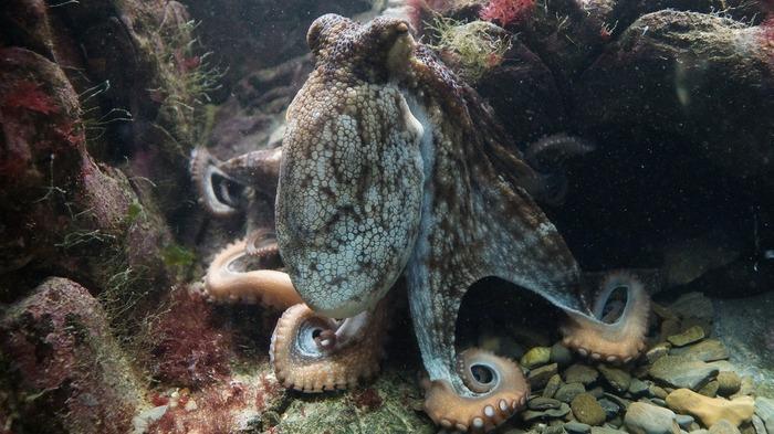 Осьминоги эволюционировали до собственных городов интересное, осьминог, фото