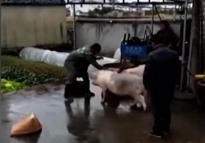 Свинья спасает жизнь другу дружба, свинка, спасение