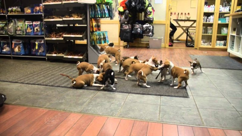 Каково жить с 16 собаками в доме 15 щенков, бесенджи, видео, собаки, щенки
