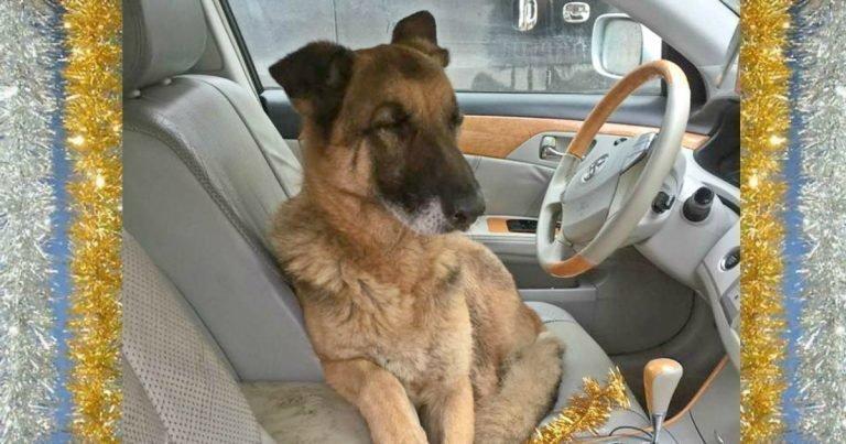 Брошенный служебный пёс оказался на трассе после службы волонтеры, добро, животные, овчарка, спасение