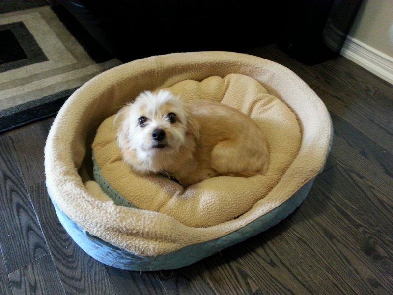 Эту собаку кто-то бил, и она сначала не хотела уходить в новый дом. Но как только она увидела свою лежанку, она тут же улеглась на неё. животные, интересное, фото