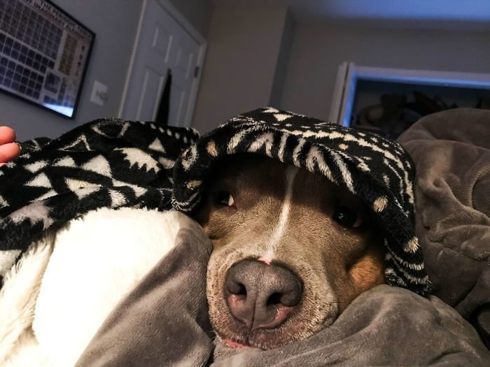 Она не может уснуть, пока её не укроют! гибкость, животные, мир, питбуль, поведение, собака, фото