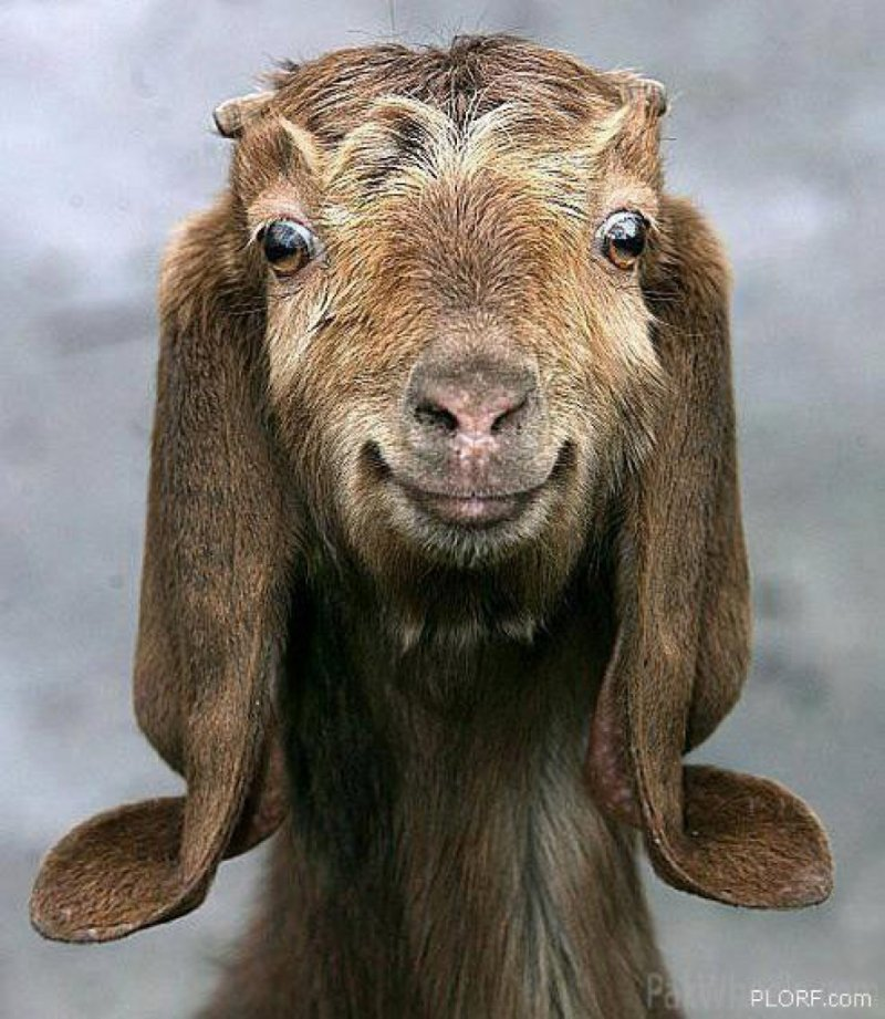 Веселые картинки 2 Cute-Goat_889_1024_s
