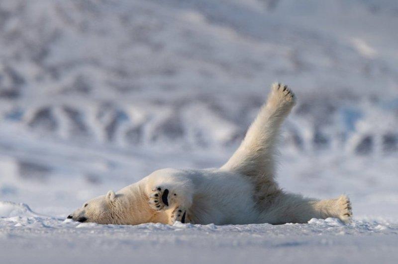 """""""Йога в Арктике"""", автор - Роуи Галиц. comedy wildlife photography awards, животные, конкурс, мир, работа, смех, фотография, юмор"""