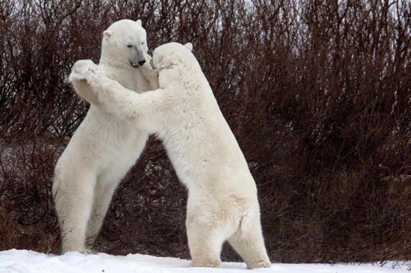 """""""Танцы"""" comedy wildlife photography awards, животные, конкурс, мир, работа, смех, фотография, юмор"""