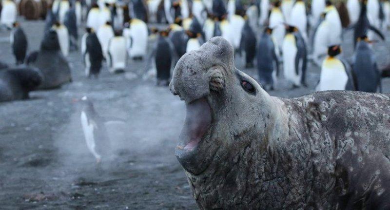 """""""Как сдуть пингвина"""". Фотограф: Джеки Дауни comedy wildlife photography awards, животные, конкурс, мир, работа, смех, фотография, юмор"""