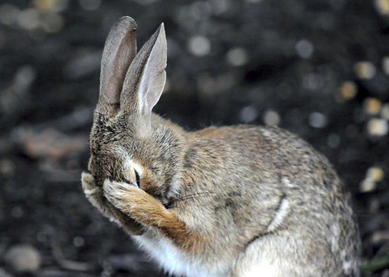 Кроличий фэйспалм comedy wildlife photography awards, животные, конкурс, мир, работа, смех, фотография, юмор