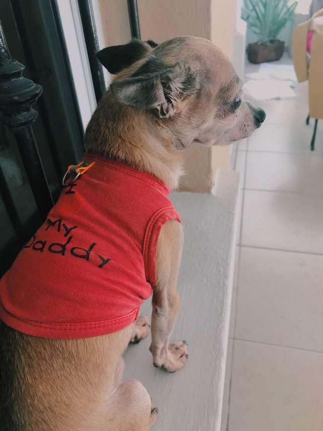 Чихуахуа плачет над вещами хозяина, умершего несколько лет назад грустная история, история, собака, собаки, трогательно