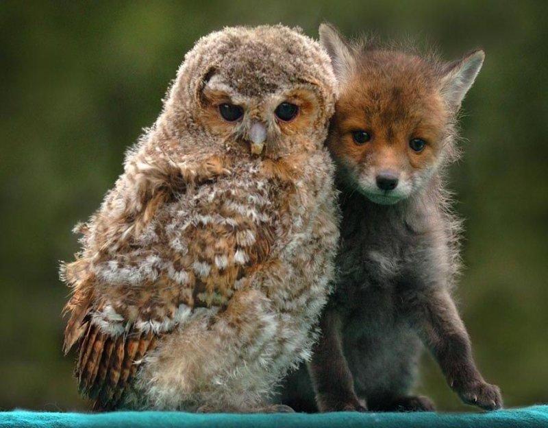 Наверное, эта сова учит лисенка мудрости. дружба, животные