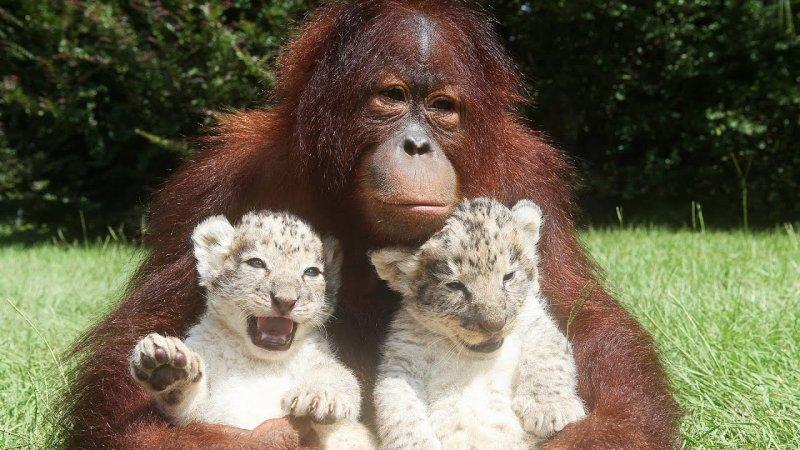 Может, она подрабатывает няней для этих тигрят? дружба, животные