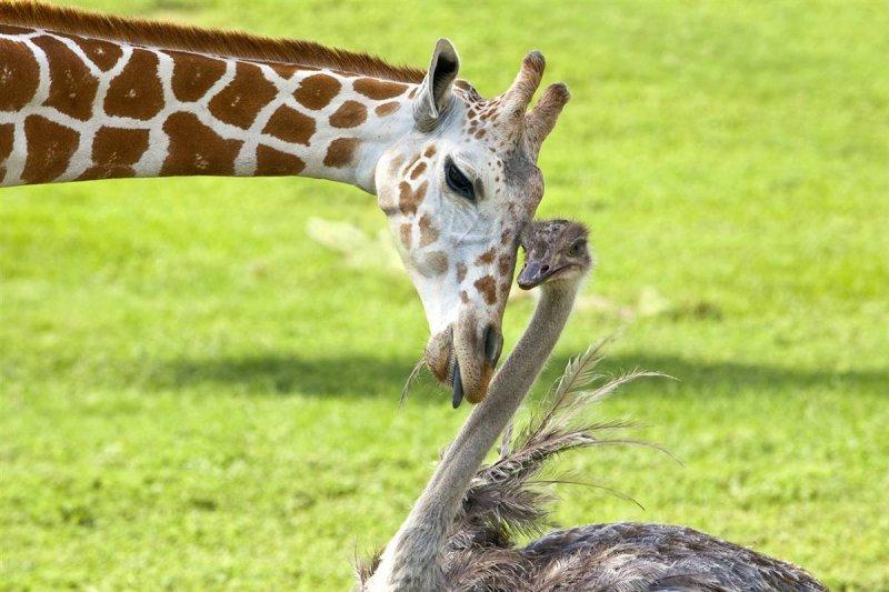 Может, они создадут общество животных с длинной шеей? дружба, животные