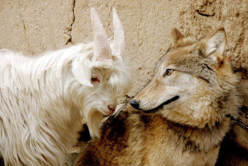 """Это что, ремейк сказки """"Волк и семеро козлят""""? дружба, животные"""