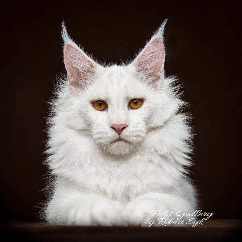 Величественные портреты мейн-кунов, на которые хочется смотреть, затаив дыхание животные, коты, кошки, красивые животные, мейн куны, мейн-кун, фото, фотограф