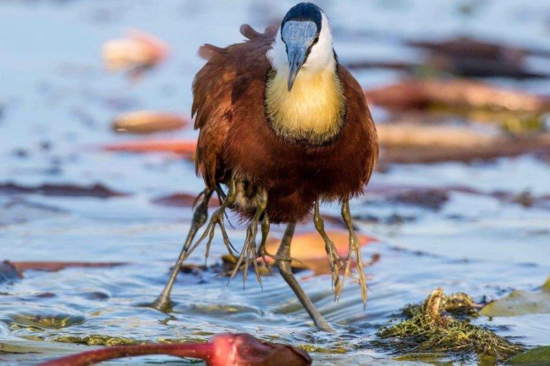 Эта птичка со множеством лапок не мутант, а всего лишь заботливый папаша