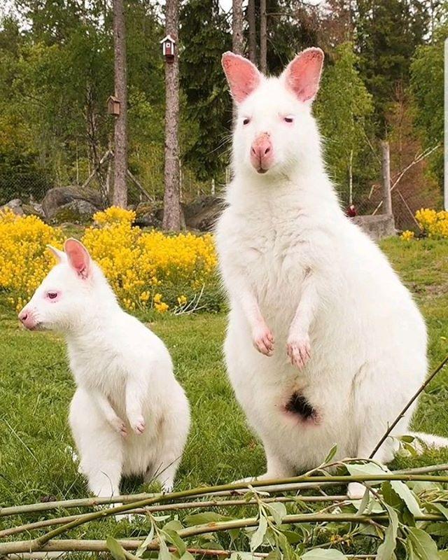 Милейшие валлаби-альбиносы, которые растопят сердце любого валлаби, дикая природа, дикие животные, кенгуру, особенные животные