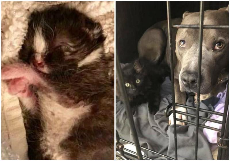 Питбуль влюбился в подобранного котенка, не оставив хозяйке выбора дружба животных, истории спасения, история спасения, котята, кошки, собаки