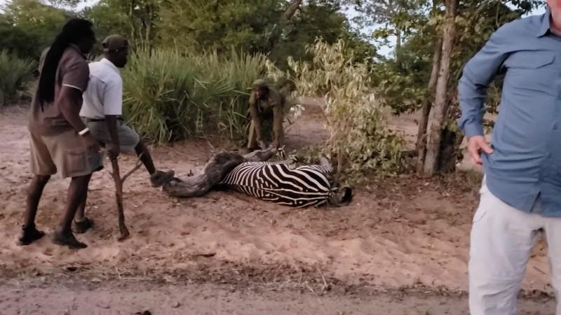 Изможденная зебра лежала в ловушке, с надеждой смотря на туристов дикая природа, дикие животные, зебра, истории спасения, история спасения, помощь животным