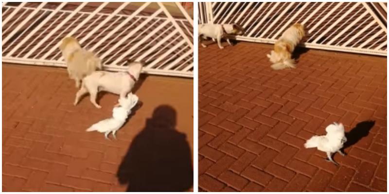 Как вы знаете, какаду очень способные птицы! Стая собак, во главе с попугаем, охраняют дом от незнакомцев видео, дикие животные, интересное, попугай, фото