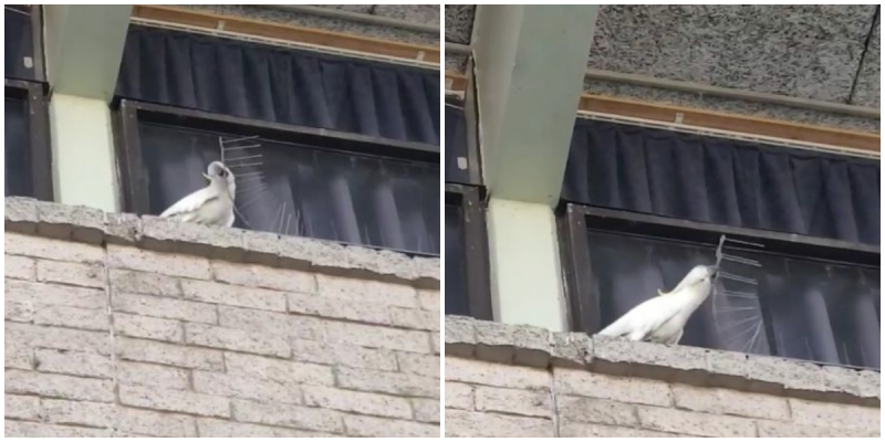 Попугай-бунтарь решил избавиться от надоевших шипов видео, дикие животные, интересное, попугай, фото