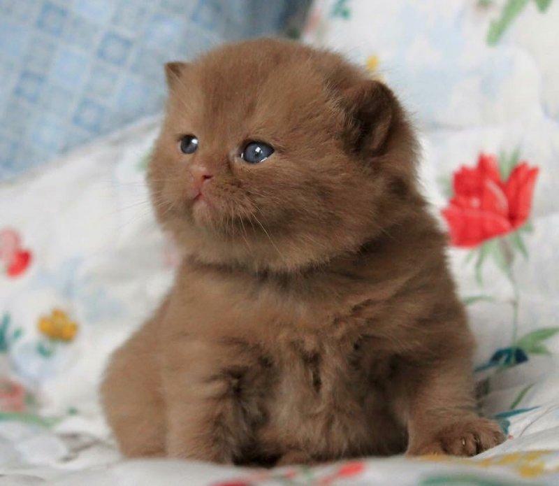 В Германии разводят удивительно красивых котов с шоколадной шубкой