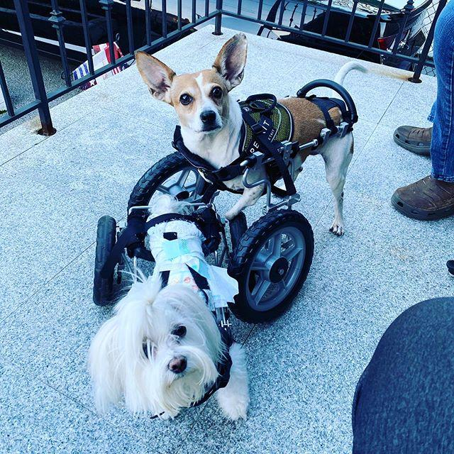 Married couple gives new life to paralyzed dogs