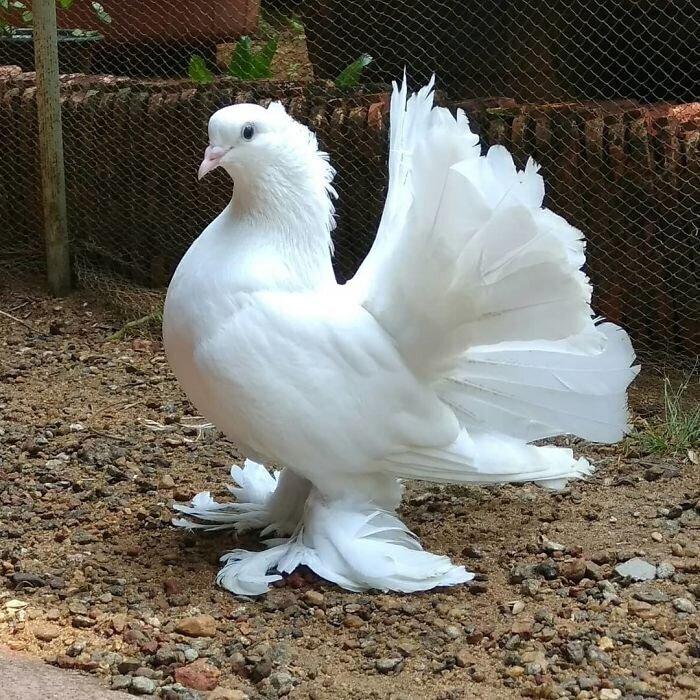 Индийский голубь с веерообразным хвостом