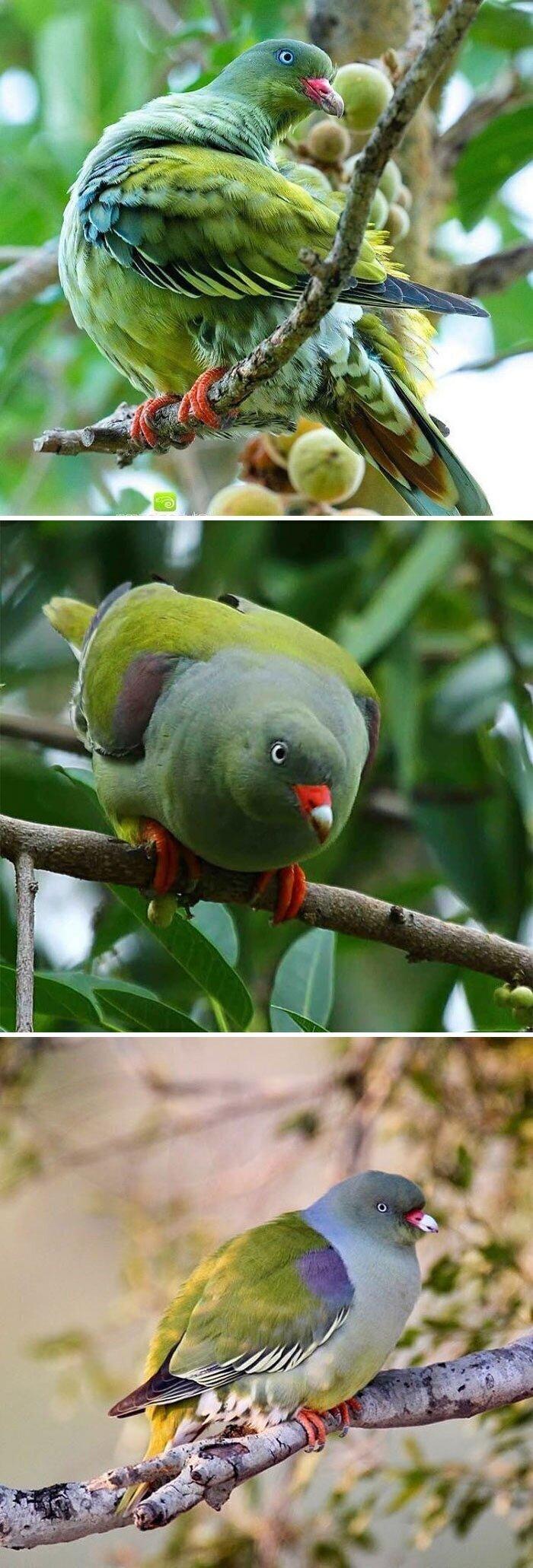 Африканский зелёный голубь