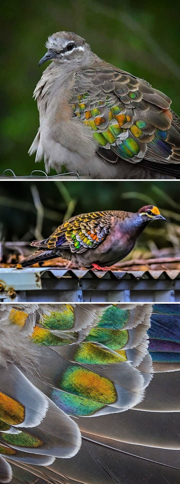Бронзовый голубь