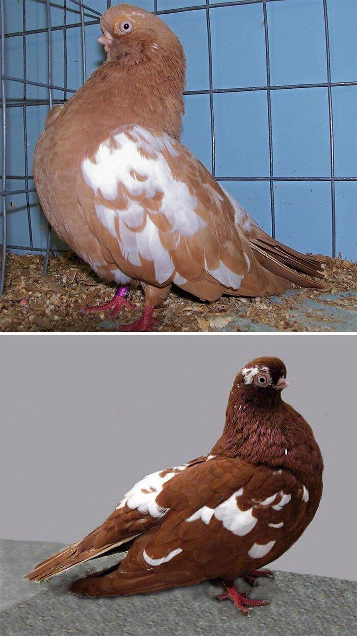 Английский короткомордый голубь