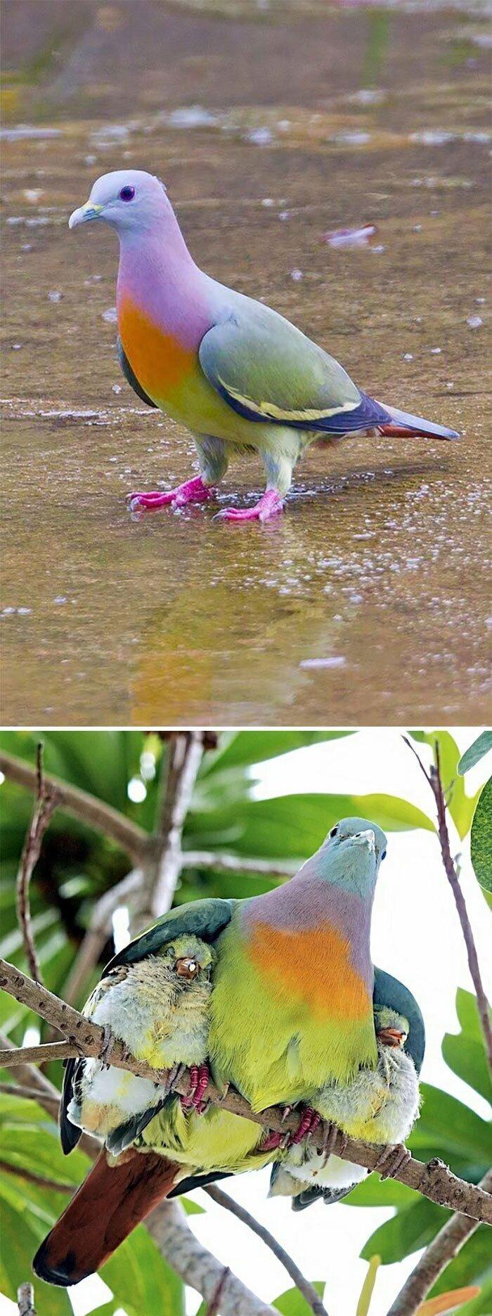 Розовошейный зелёный голубь