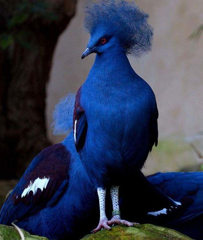 Синий венценосный голубь