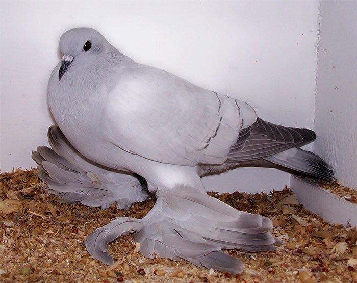 Ледяной голубь