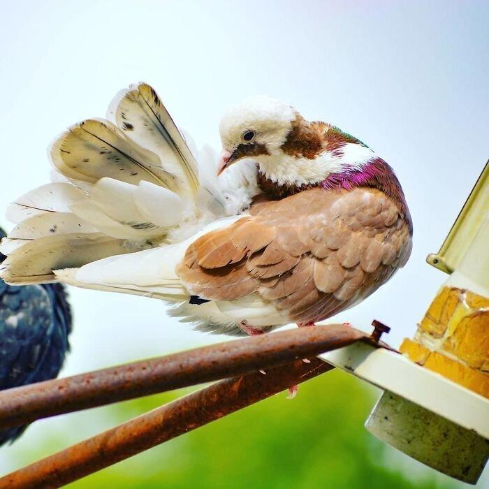 Красно-белый голубь (Red White Roller)