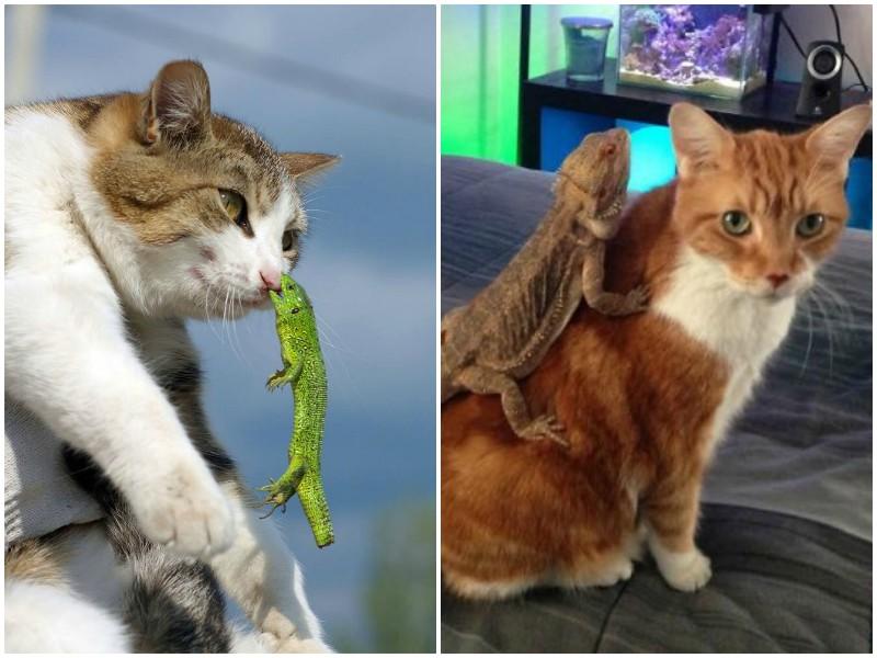 Забавнейшие фото о противоречивых отношениях котов и ящериц