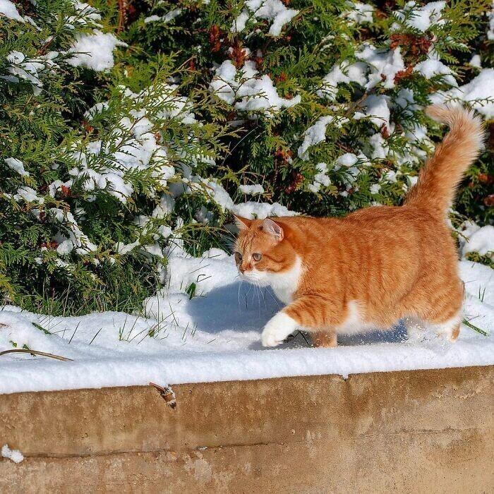 Великолепный рыжий котяра из России очаровывает соцсети
